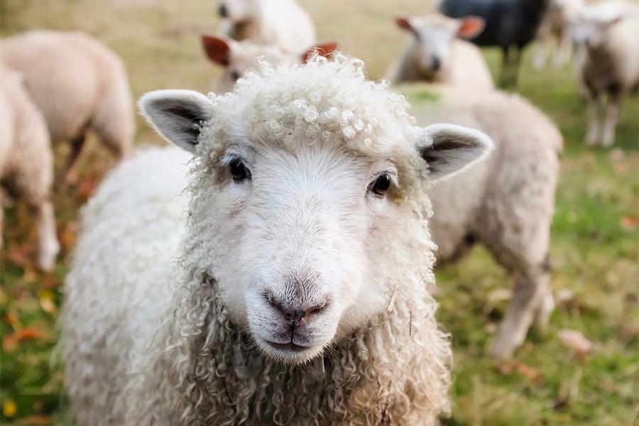 Wool carpets - sheep